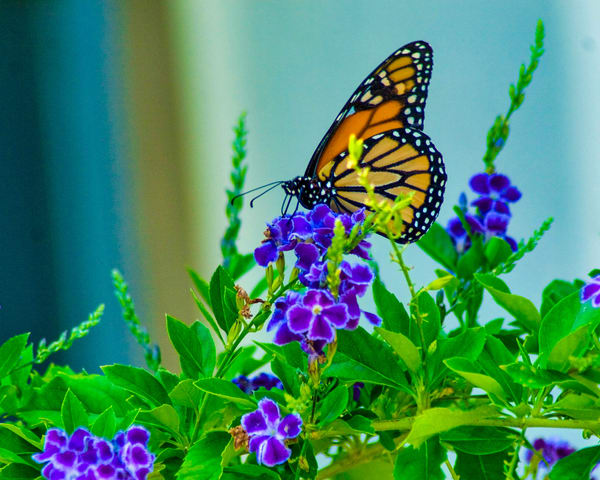 Butterfly On Blue Flower Photography Art | It's Your World - Enjoy!