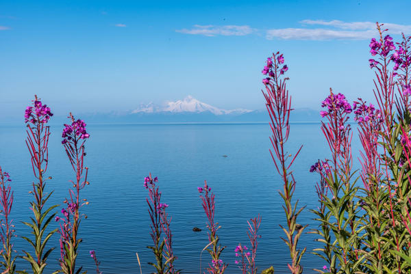 Fireweed Framed Beauty Photography Art | Gingerich PhotoArt