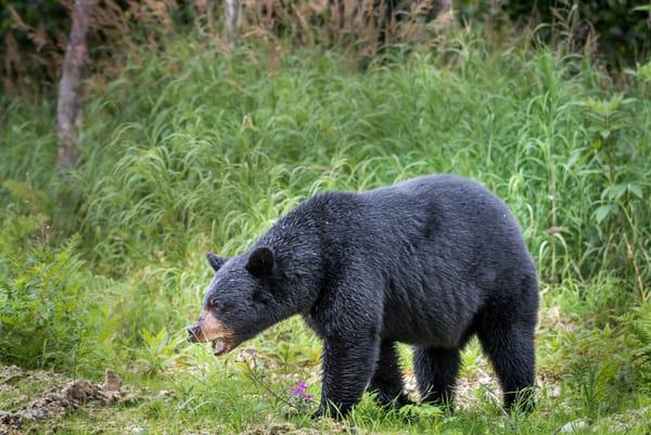 Alaskan Black Bear Photography Art | Gingerich PhotoArt