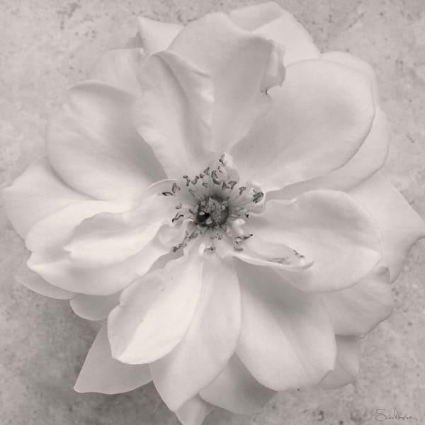 Rose No5 Art | Sondra Wampler | fine art
