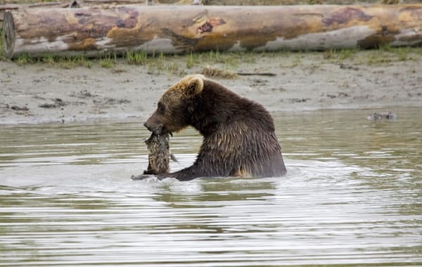 Grizzly In Animal Sanctuary Art | DocSaundersPhotography