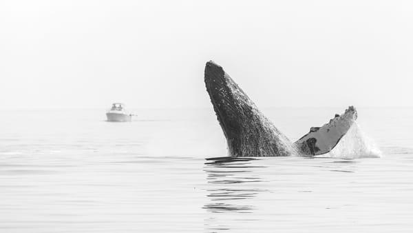 Humpback Whale No  3 | Terrill Bodner Photographic Art