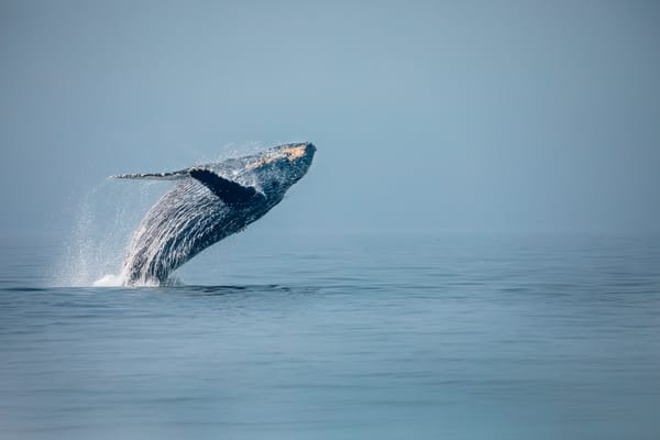 Humpback Whale No 4