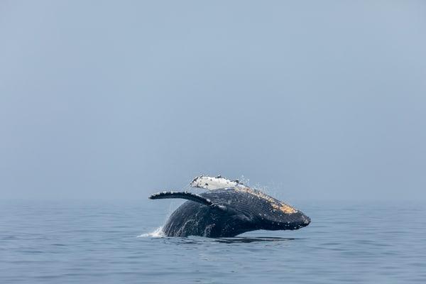 Humpback Whale No  2 | Terrill Bodner Photographic Art