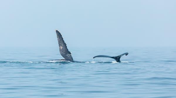 Humpback Whale No  6 | Terrill Bodner Photographic Art