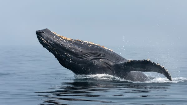 Humpback Whale No 1 | Terrill Bodner Photographic Art