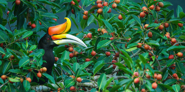 Collector's print of a hornbill in a fig tree on metal.