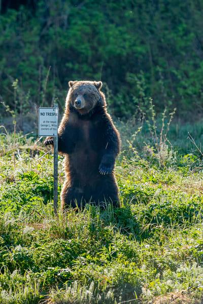 Chilkoot Bear Guard Art | Alaska Wild Bear Photography