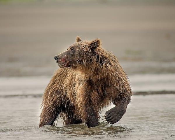The Salmon Was Good   803 Art   Alaska Wild Bear Photography