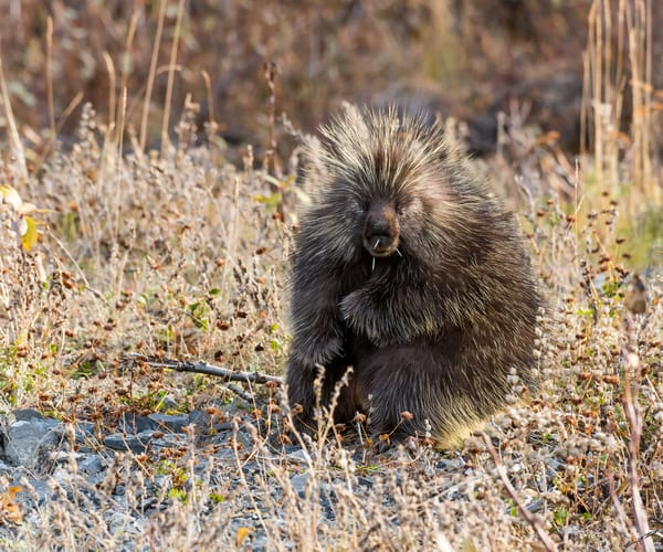 After The Fight   Porcupine Art | Alaska Wild Bear Photography