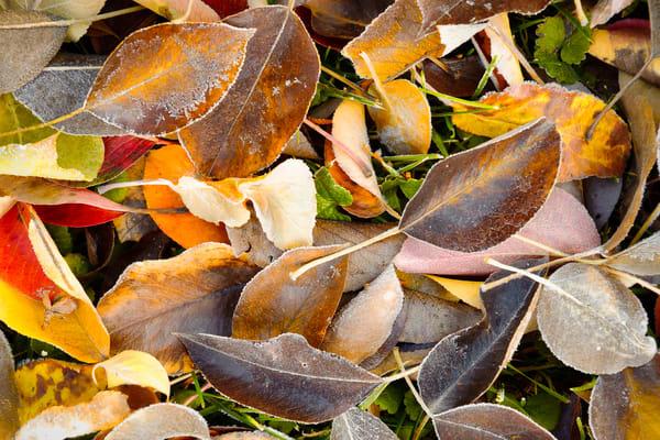 Fallen Autumn Leaves, Kittitas County, Washington, 2013
