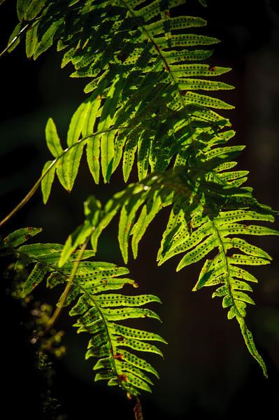 Fern, Tiger Mountain State Forest, Washington, 2015