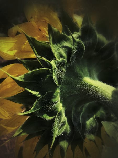 Sunflower, photo, nature, flower, abstract