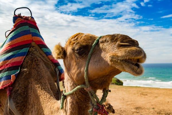 Morocco Camels Art | Jamie Lightfoot, Artist