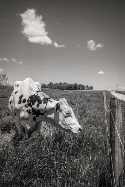 """""""Lonely Cow"""" Photography Art 