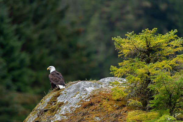 Eagle Lookout On The Chilkoot Art | Alaska Wild Bear Photography