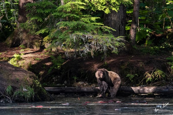 Bear In The Dark Forest Fishing Art | Alaska Wild Bear Photography