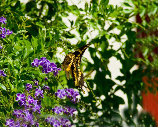 Butterfly On Butterfly Bush Photography Art | It's Your World - Enjoy!