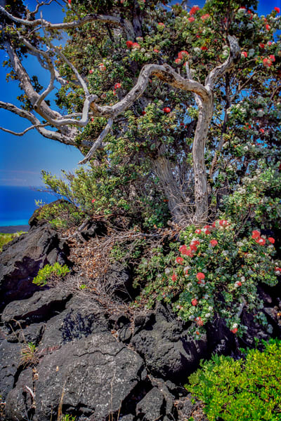 Lehua Tree Photography Art | David Lawrence Reade