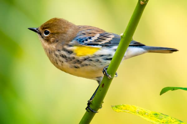 Yellow Rumped Warbler on Plant Stalk