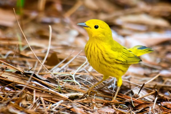 Yellow Warbler in Pine Straw