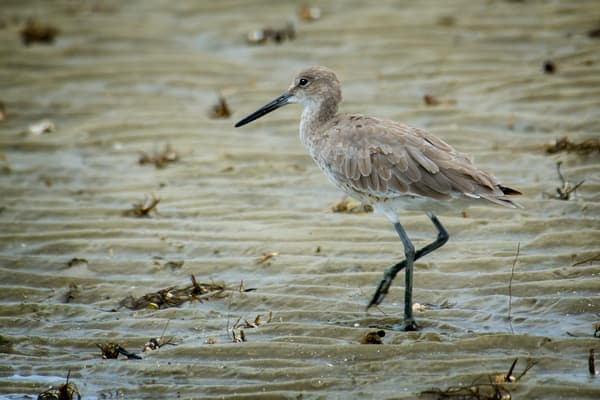 Willet on Beach at Low Tide