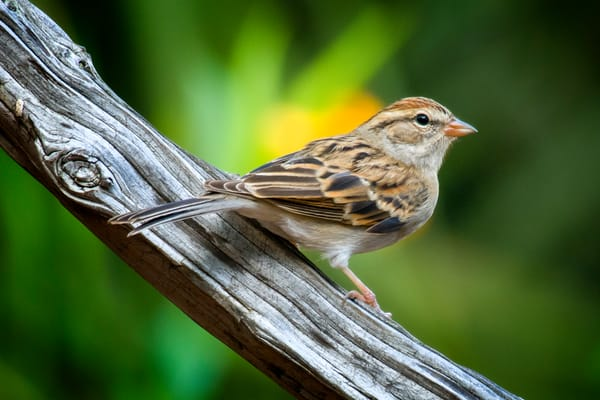 Chipping Sparrow on Driftwood