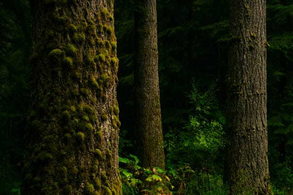 Summer Forest, Butte Creek, Washington, 2020