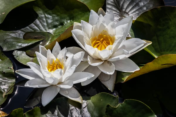 Lovely Lilies Photography Art | David Lawrence Reade