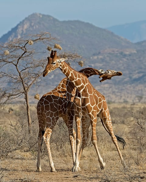 Giraffes Necking Art   janetogrenart