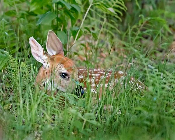curled, up, fawn, deer, shenandoah, national, park