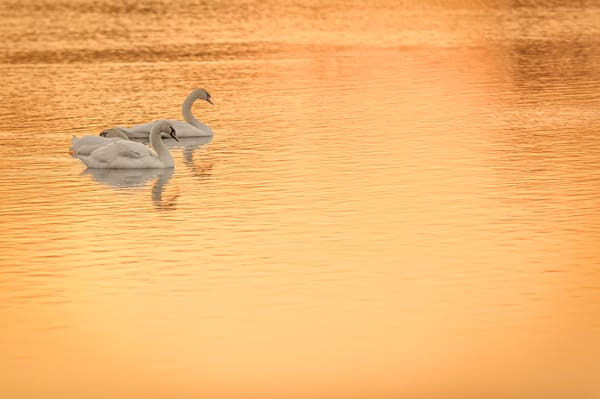 Swans In Gold
