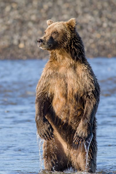Looking For Danger Art | Alaska Wild Bear Photography