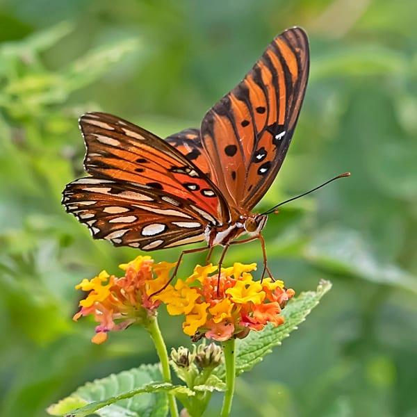 Gulf, Fritillary, Butterfly