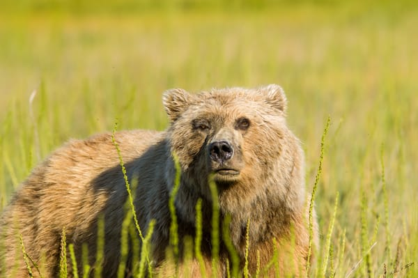 I M Watching You Art | Alaska Wild Bear Photography