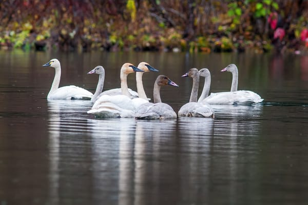 Two Swan Families Art | Alaska Wild Bear Photography