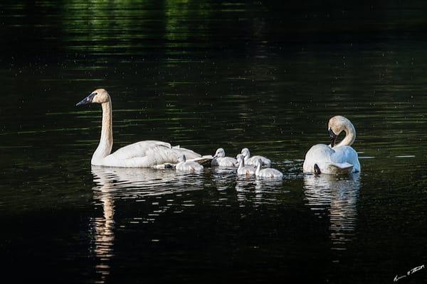 New Swan Family 2 Art | Alaska Wild Bear Photography