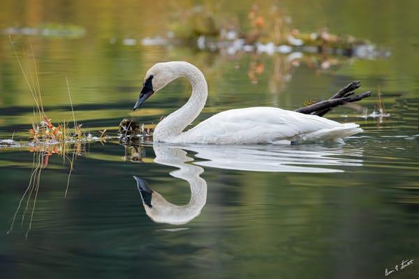 Fall Swan Reflections Art | Alaska Wild Bear Photography