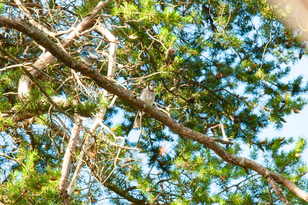 Blue Jay overlooks the forest