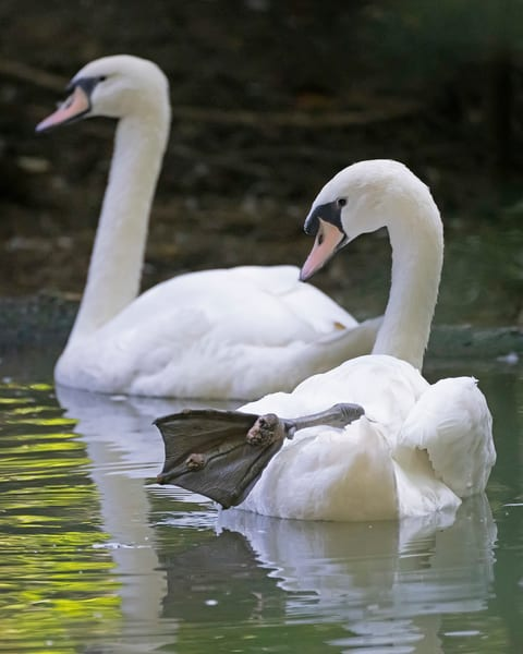mute swans, peaceful