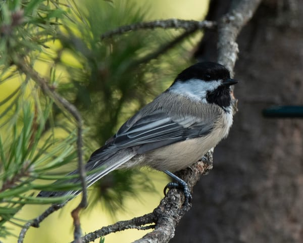 Beautiful Chickadee on the pine branch