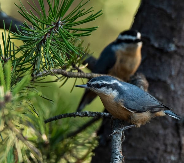 Nuthatches in the Tree