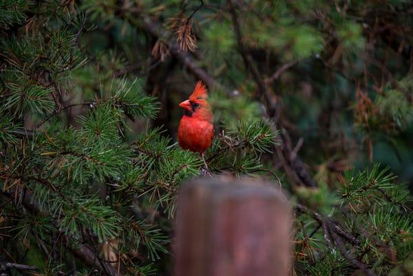 Cardinal Posts Watch
