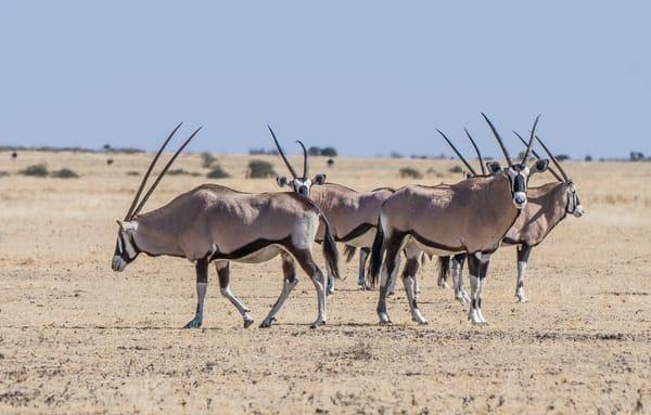 Kalahari Gemsbok Photography Art | Tolowa Gallery