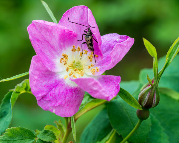 Rose Bug Art | Alaska Wild Bear Photography
