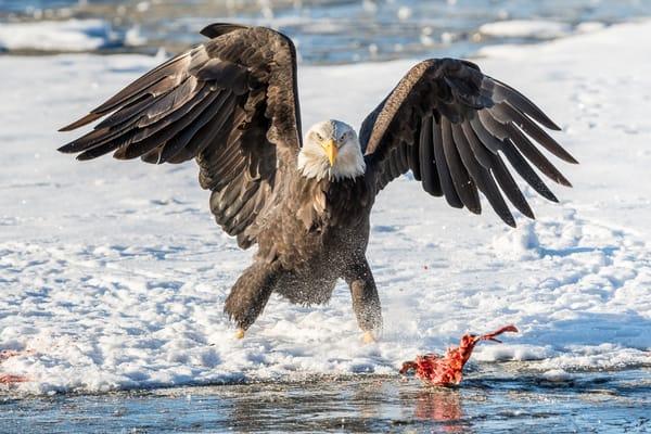 Eagle Intimadation Art | Alaska Wild Bear Photography