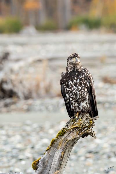 Fall Eagle On The Klehini Art | Alaska Wild Bear Photography