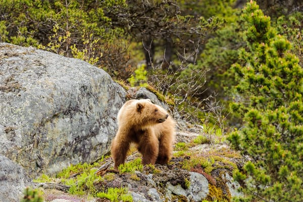 Young Bear On Cliff Art | Alaska Wild Bear Photography
