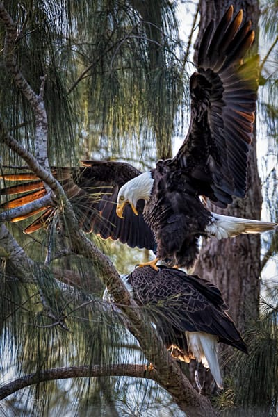 The Mating of the Eagles