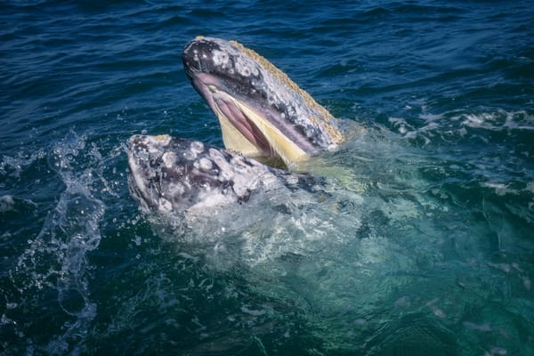 Laughing Whale Photography Art | Carol Brooks Parker Fine Art Photography